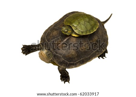 Tortoise. The file includes a excellent clipping path, so it's easy to work with these professionally retouched high quality image. Thank you for checking it out! - stock photo