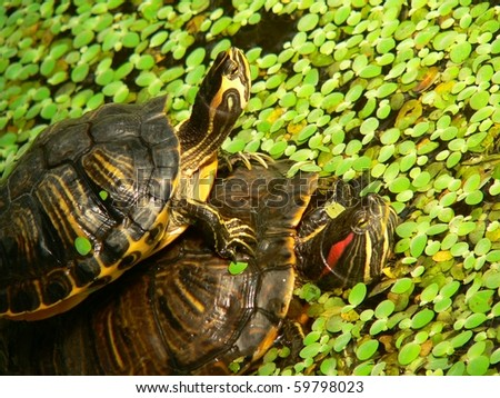 tortoises in the pond in puerta atocha in madrid  Tortoises (Trachemys scripta  or more commonly pond slider)