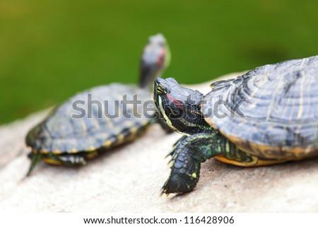 tortoises on rock - stock photo