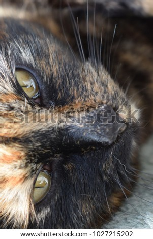 Tortoiseshell Domestic cat