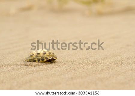 Tortoiseshell squeak in close-up, rush, buried in the sand shell - stock photo