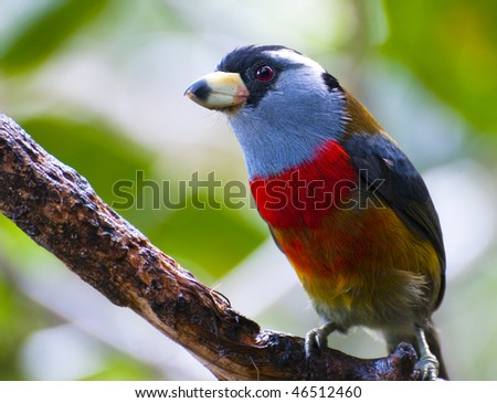 Toucan Barbet in trees near Mindo, Ecuador - stock photo