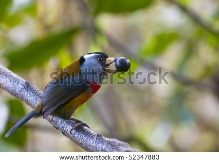 Toucan Barbet of the Ecuadorian rain forest - stock photo