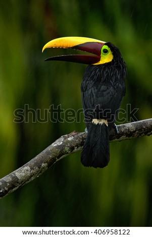 Toucan, Big beak bird Chesnut-mandibled sitting on the branch in tropical rain with green jungle background, animal in the nature habitat, Panama - stock photo