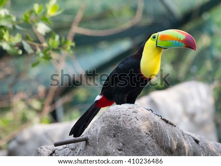 Toucan bird sitting on a rock Toucans with their huge beak look like they were drawn by a child. These curious birds and-wives - some of the most noisy in the jungle. - stock photo