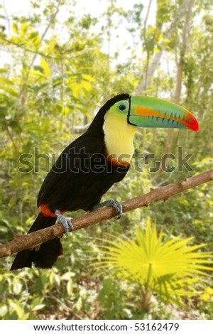 toucan kee billed Tamphastos sulfuratus on the jungle - stock photo