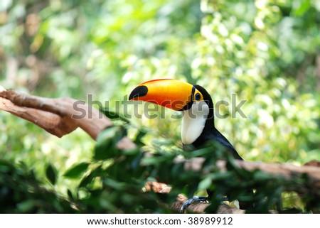 Toucan on the tree - stock photo