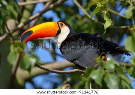 toucan outdoor - stock photo