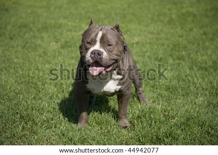 Tough male Pit bull on green grass.