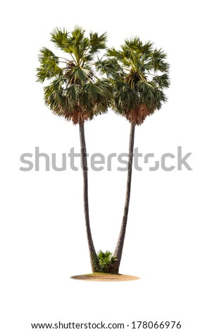 tow borassus flabellifer (asian palmyra palm, toddy palm, sugar palm, or cambodian palm) tropical tree, isolated on white background
