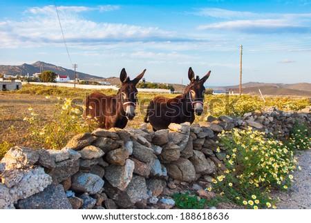 Tow donkey on the field with wildflowers. Mykonos. Greece. - stock photo