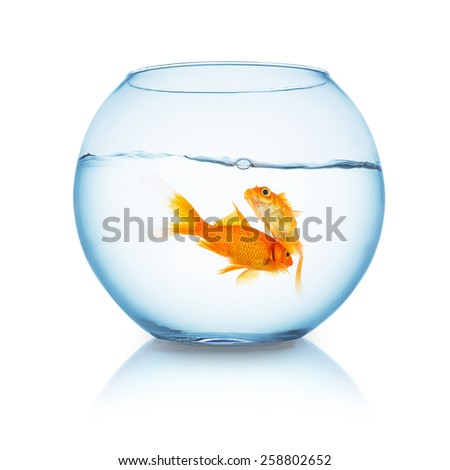 tow goldfishes in a fishbowl isolated on white - stock photo