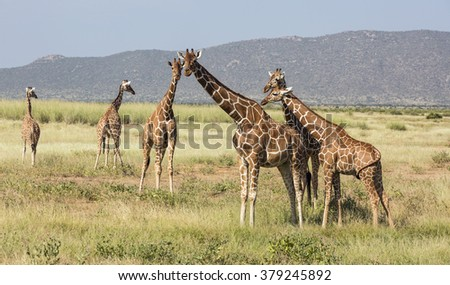 Tower of reticulated giraffe Samburu national Reserve - stock photo