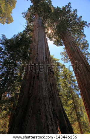 Towering Redwoods at Sequoia National Park - stock photo