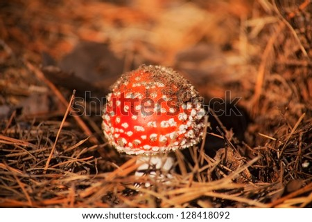 toxic mushroom fly-agaric in autumn forest