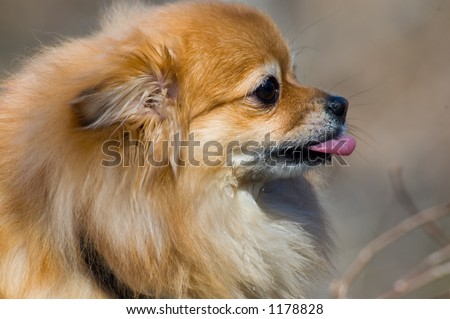 toy dog -- pomeranian breed - stock photo
