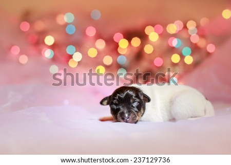 Toy fox terrier puppy, studio portrait small dog on a color background - stock photo