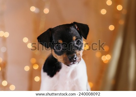 Toy fox terrier, Studio portrait puppy, Christmas and New Year - stock photo