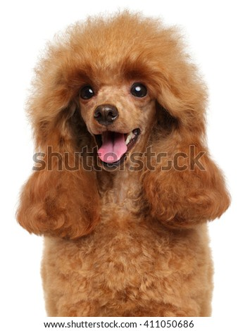 Toy Poodle close-up portrait isolated on white background - stock photo