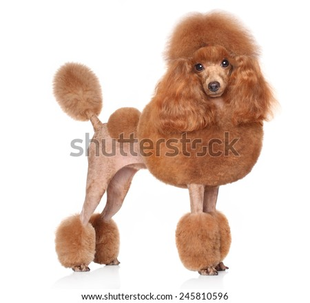 Toy Poodle in stand on a white background - stock photo