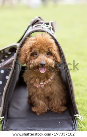 Toy Poodle inside a travel carrier bag outdoor