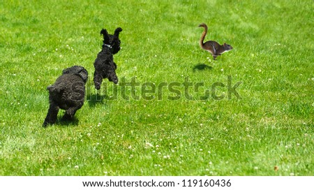 Toy poodle puppy, and miniature poodle chasing a squirrel in the summer. - stock photo