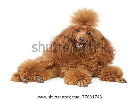 Toy poodle resting on white background - stock photo