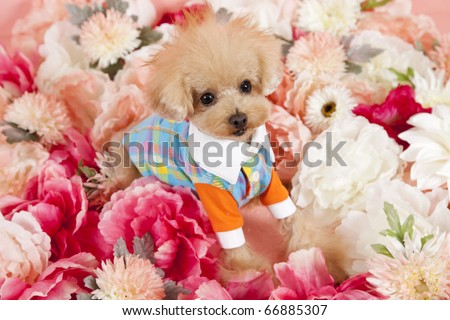 toy poodle sitting in pink and crimson flowers dressed in fashionable clothes - stock photo