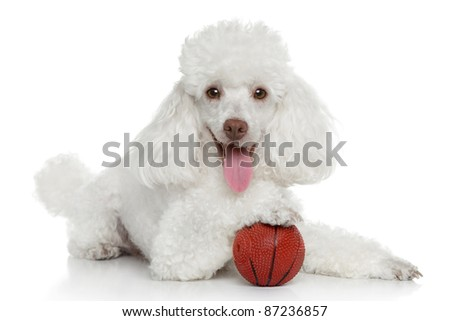 Toy poodle with ball on a white background - stock photo