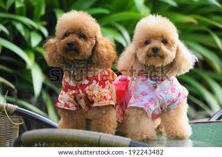 toy poodles - stock photo