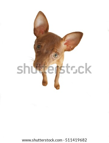 Toy terrier dog. Pleased dog with big nose on white background. Isolated.