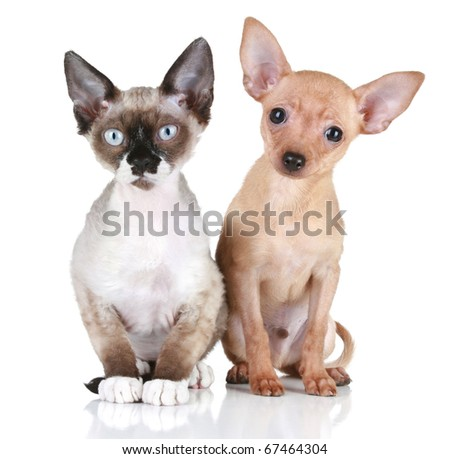 Toy terrier puppy and Devon rex cat on a white background - stock photo