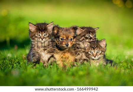 Toy terrier puppy sitting between kittens  - stock photo