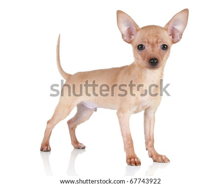 Toy terrier tiny puppy stands on a white background