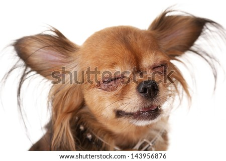 toy terrier/toy terrier squints and smiles. Studio close-up - stock photo