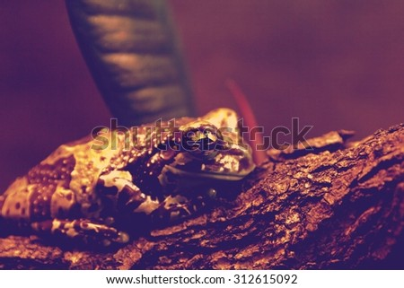 Trachycephalus resinifictrix (Harlequin frog) is sitting on a br - stock photo