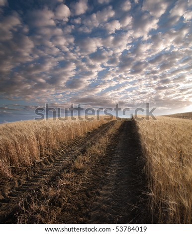 track of tractor crosses ripe wheat field at the sunset under a dramatic sky - stock photo