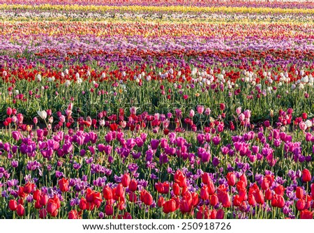 tractor in colorful tulip filed in Woodburn, Oregon. - stock photo