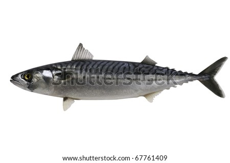Trade sample large mackerel on a white background.