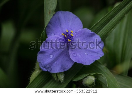 Tradescantia very unusual . - stock photo