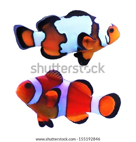 Traditional clown and snowflake fish isolated on white background - stock photo
