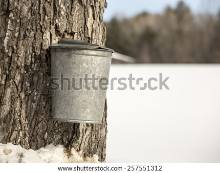Traditional galvanized sap bucket used in the collection of maple tree sap for making maple syrup. - stock photo