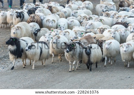 Traditional sheep gathering in Iceland. - stock photo