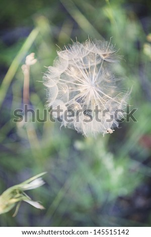 Tragopogon, also known as salsify or goatsbeard Plant - stock photo