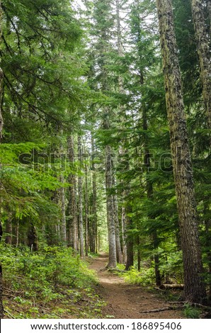 Trail passing through tall pine trees in Oregon - stock photo