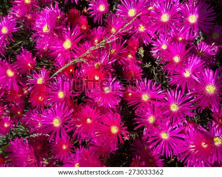 Trailing Ice Plant (Lampranthus spectabilis) is native to South Africa and thrive in sunny, dry locations. The vibrant, daisy-like flowers open with the sun and close every evening. - stock photo