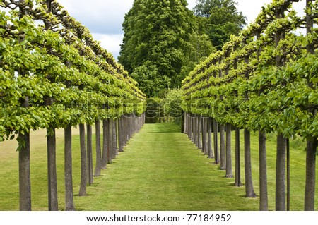trained rows of lime tree, tilia euchlora in a formal garden - stock photo