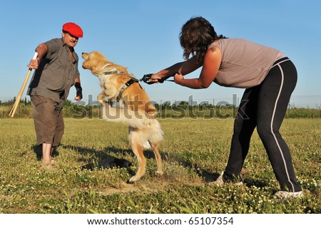 training of a purebred hovawart in an exercices of attack - stock photo