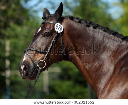 Trakehner horse with classic bridle  - stock photo