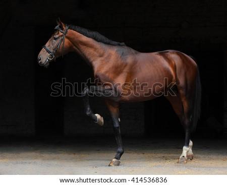 Trakehner stallion in dark stable doors background - stock photo